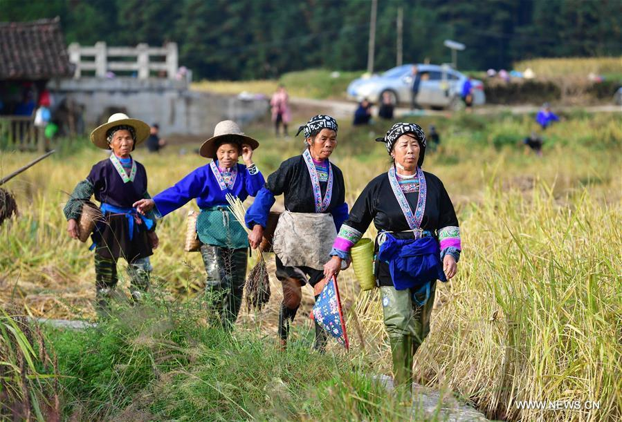 Farmers of the Miao ethnic group walk in the field to harvest purple glutinous rice at Yuanbao Village in Antai Township in Rongshui Miao Autonomous County, south China\'s Guangxi Zhuang Autonomous Region, Oct. 30, 2018. Farmers are busy harvesting purple glutinous rice in Antai, where a production mode that incorporates cooperatives, planting bases and individual farmers has helped the locals out of poverty. (Xinhua/Wu Jianlu)
