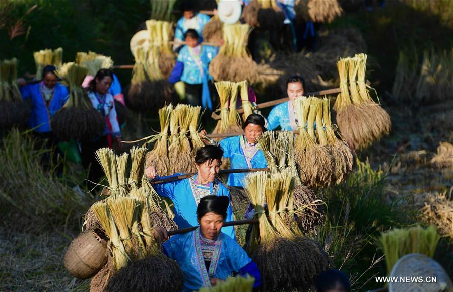 Farmers of the Miao ethnic group carry bales of purple glutinous rice at Yuanbao Village in Antai Township in Rongshui Miao Autonomous County, south China\'s Guangxi Zhuang Autonomous Region, Oct. 30, 2018. Farmers are busy harvesting purple glutinous rice in Antai, where a production mode that incorporates cooperatives, planting bases and individual farmers has helped the locals out of poverty. (Xinhua/Huang Xiaobang)