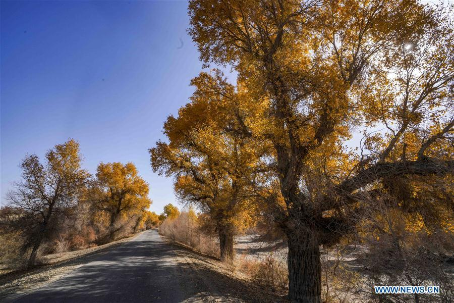 Photo taken on Oct. 25, 2018 shows desert poplar trees along a road in Yuli County sitting in the middle and lower reaches of Tarim River, northwest China\'s Xinjiang Uygur Autonomous Region. The Tarim River, China\'s longest inland river, runs 1,321 kilometers along the rim of the barren Tarim Basin. Xinjiang has infused 7 billion cubic meters of water to the dry trunk stream of the lower reaches of the Tarim River in 18 rounds of water diversion since 2000, making the local forest of desert poplar a tourist attraction. (Xinhua/Zhao Ge)