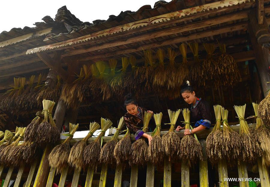 Farmers of the Miao ethnic group dry purple glutinous rice at Yuanbao Village in Antai Township in Rongshui Miao Autonomous County, south China\'s Guangxi Zhuang Autonomous Region, Oct. 30, 2018. Farmers are busy harvesting purple glutinous rice in Antai, where a production mode that incorporates cooperatives, planting bases and individual farmers has helped the locals out of poverty. (Xinhua/Wu Jianlu)