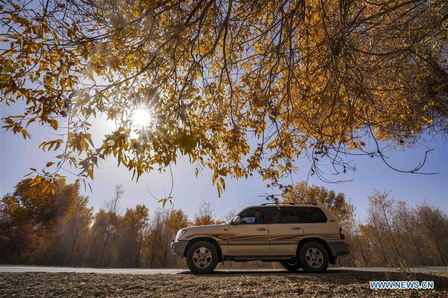 A car travels on a road flanked by desert poplar trees in Yuli County sitting in the middle and lower reaches of Tarim River, northwest China\'s Xinjiang Uygur Autonomous Region, Oct. 25, 2018. The Tarim River, China\'s longest inland river, runs 1,321 kilometers along the rim of the barren Tarim Basin. Xinjiang has infused 7 billion cubic meters of water to the dry trunk stream of the lower reaches of the Tarim River in 18 rounds of water diversion since 2000, making the local forest of desert poplar a tourist attraction. (Xinhua/Zhao Ge)