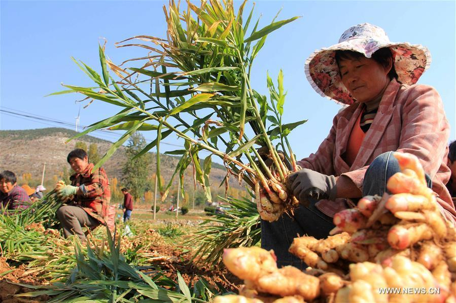 Farmers harvest ginger in Cuizhuang Village of Shanting District in Zaozhuang City, east China\'s Shandong Province, Oct. 30, 2018. (Xinhua/Wang Qimeng)