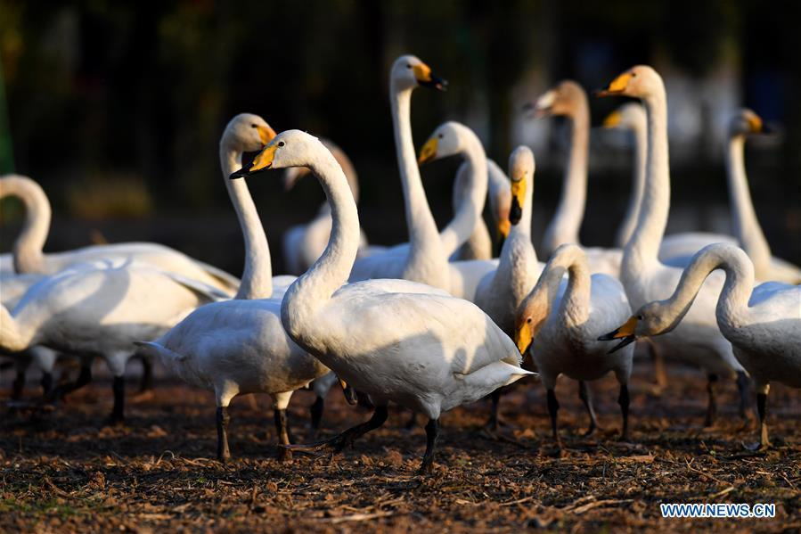 Wild swans are seen at a wetland in Pinglu, north China\'s Shanxi Province, Oct. 30, 2018. Migratory wild swans recently came to the wetland to spend the winter. (Xinhua/Yang Chenguang)