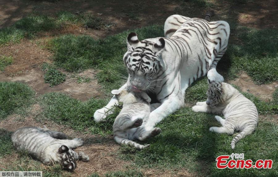 Clarita the Bengal tiger plays with her three cubs at the Huachipa Zoo, on the outskirts of Lima, Peru, Tuesday, Oct. 30, 2018. Clarita's three cubs are eight weeks old. The cubs will be named through a naming competition according to the zoo.(Photo/Agencies)