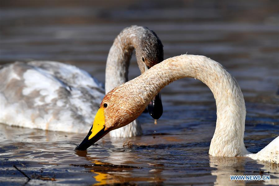 Wild swans are seen at a wetland in Pinglu, north China\'s Shanxi Province, Oct. 31, 2018. Migratory wild swans recently came to the wetland to spend the winter. (Xinhua/Zhan Yan)