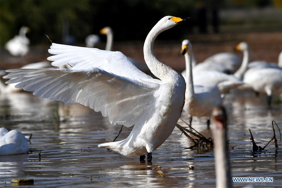 Wild swans are seen at a wetland in Pinglu, north China\'s Shanxi Province, Oct. 31, 2018. Migratory wild swans recently came to the wetland to spend the winter. (Xinhua/Yang Chenguang)