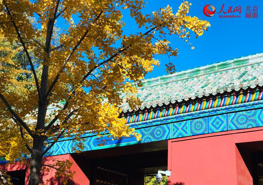 Ginkgo trees are turning Beijing\'s Temple of Earth into a sea of yellow as the temperature continues to fall in late autumn. With the golden leaves hanging from the branches and blowing off in the wind, the Temple of Earth looks like a fairyland. (Photo/people.cn)