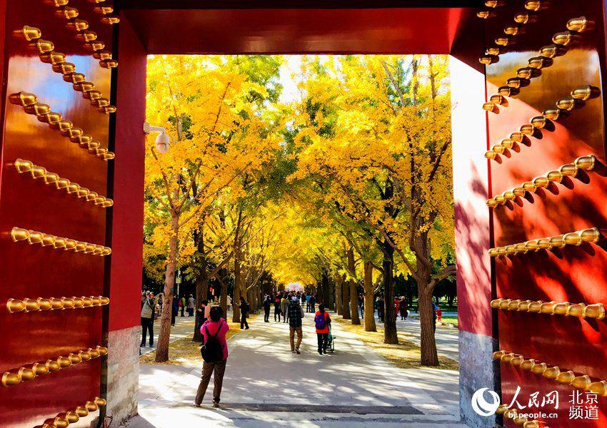 Ginkgo trees are turning Beijing\'s Temple of Earth into a sea of yellow as the temperature continues to fall in late autumn. With the golden leaves hanging from the branches and blowing off in the wind, the Temple of Earth looks like a fairyland. (Photo/people.cn)  The Temple of Earth is home to over 200 ginkgo trees, and the best time to catch the beautiful fall scene is between late October and early November each year.