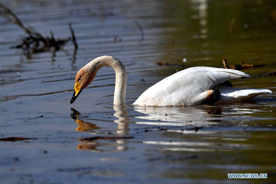 A wild swan is seen at a wetland in Pinglu, north China\'s Shanxi Province, Oct. 31, 2018. Migratory wild swans recently came to the wetland to spend the winter. (Xinhua/Yang Chenguang)
