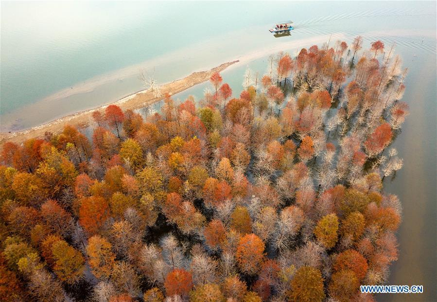Aerial photo taken on Oct. 30, 2018 shows larches at Qinglongwan reservoir in Ningguo City, east China\'s Anhui Province. In autumn, over 133.3 hectares of larches here add touches of gold to the reservoir. (Xinhua/Shi Yalei)