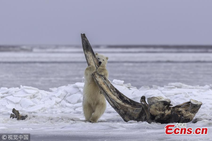 A hungry bear cub holds onto a towering whale bone in Alaska. The young bear and its sibling climb on a bowhead whale bone which has been left out by local Alaskan Inupiat hunters. The 75-ton whales are sacred to Inupiat people, who cook and eat three per year, leaving the bones in a designated place for the polar bears to finish off the scraps of meat stuck to the bones. (Photo/VCG)