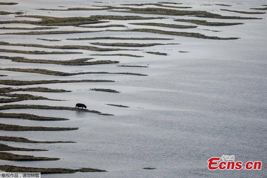 A pig feeds on sandbanks which emerged amid Danube River\'s lowest water levels this year, in Beska, Serbia, October 30, 2018. Picture taken October 30, 2018. (Photo/Agencies)