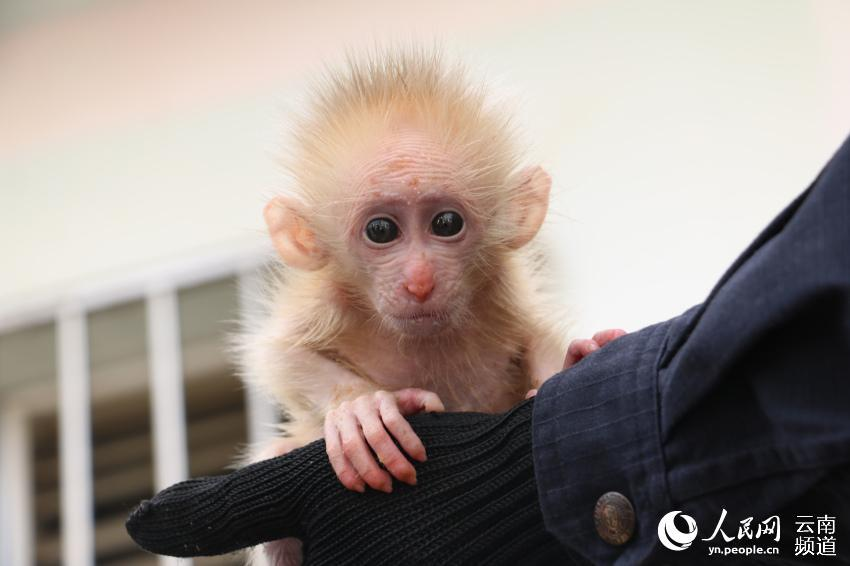 A northern pig-tailed macaque cub, under first-class national protection in China, was recently saved from a trafficker by two citizens in Pu\'er, southwestern China\'s Yunnan Province, and was later handed to local forest police. (Photo/People\'s Daily Online)