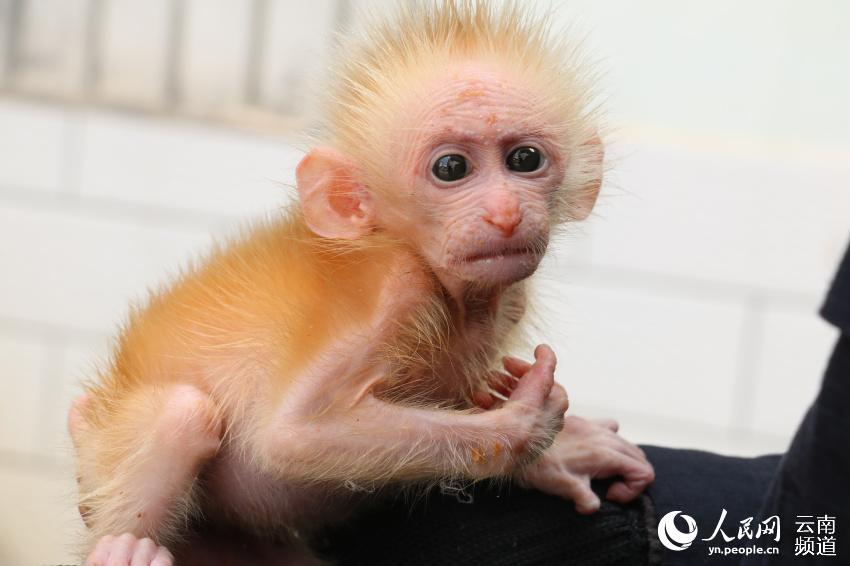 A northern pig-tailed macaque cub, under first-class national protection in China, was recently saved from a trafficker by two citizens in Pu\'er, southwestern China\'s Yunnan Province, and was later handed to local forest police. (Photo/People\'s Daily Online)  The macaque is 21 centimeters in length and weighs only 1.1 kilograms. It was later sent to a local wildlife rescue shelter because it was not yet capable of surviving in the wild.