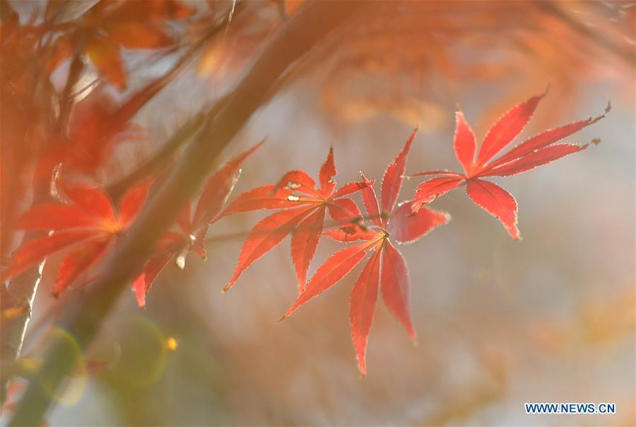 Photo taken on Nov. 2, 2018 shows the maple leaves at a park by the Gongshui River in Zhushan Township of Xuan\'en County, central China\'s Hubei Province. (Xinhua/Song Wen)