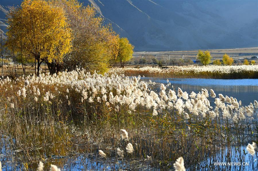 Photo taken on Nov. 4, 2018 shows reed flowers in a wetland in Qushui County of Lhasa, southwest China\'s Tibet Autonomous Region. (Xinhua/Wang Quanquan)