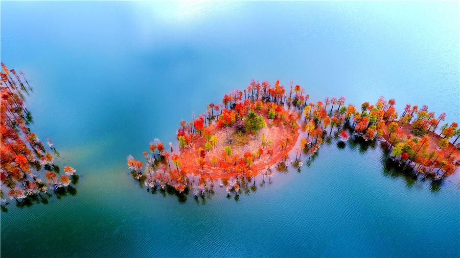 An aerial view of the colorful redwood forest at Zhengqiao Reservoir in Xianju county, East China\'s Zhejiang Province, on Nov. 4, 2018. (Photo/Asianewsphoto)
