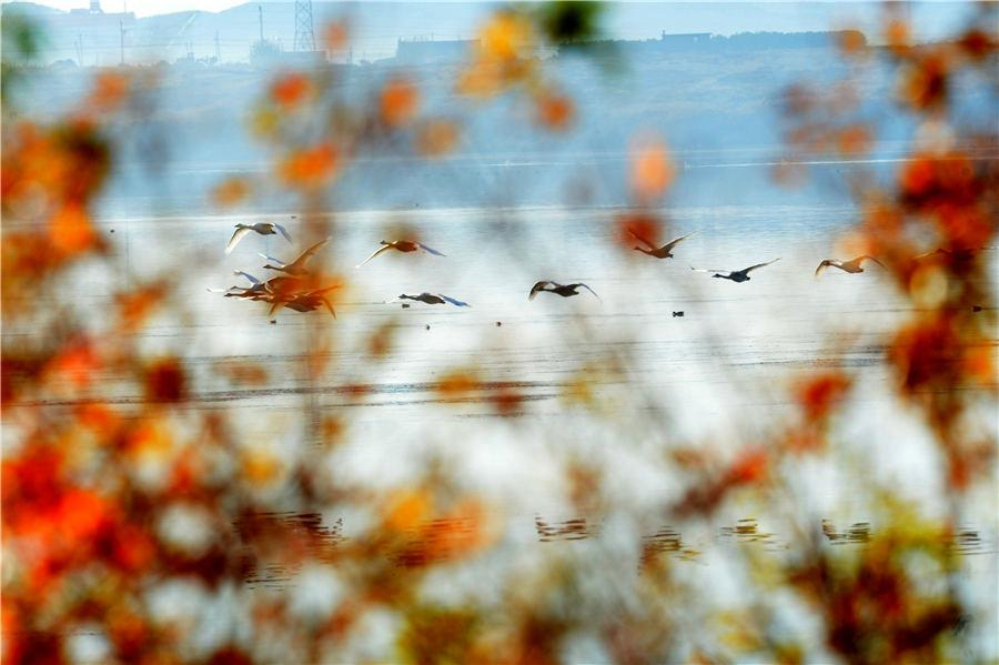As winter approaches, Swan Lake in Rongcheng, East China\'s Shandong Province, attracts flocks of swans to spend the winter. (Photo/Asianewsphoto)
