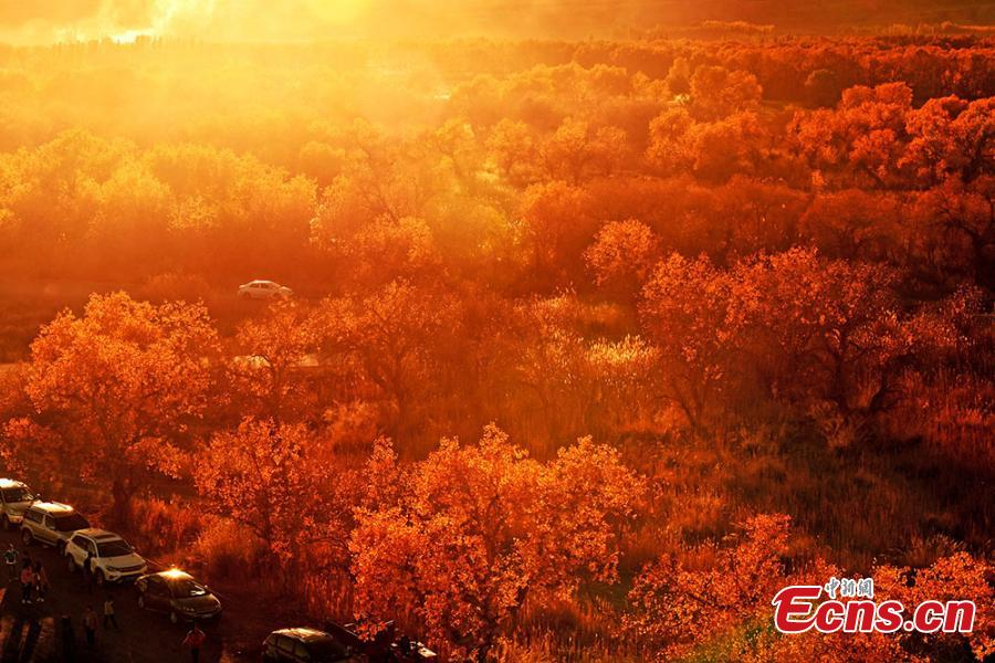 Photo taken in November,2018 shows the autumn scenery of the forest of populus euphratica, commonly known as desert poplar, in Urho district, Karamay city, northwest China\'s Xinjiang Uygur Autonomous Region.  (Photo: China News Service/ Min Yong)