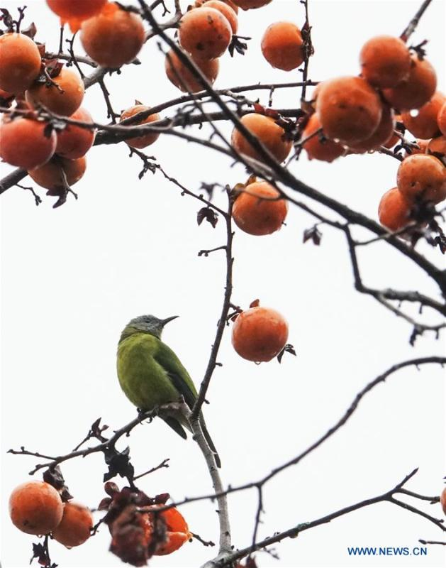 A bird rests on a persimmon tree at Guizhou arboretum in Guiyang, southwest China\'s Guizhou Province, on Nov. 7, 2018. (Xinhua/Qiao Qiming)