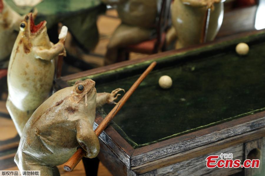 A frog playing pool is pictured at the Frog Museum, a collection of 108 stuffed frogs in scenes portraying everyday life in the 19th-century and made by Francois Perrier, in Estavayer-le-Lac, Switzerland November 7, 2018.(Photo/Agencies)