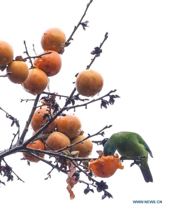 A bird eats a persimmon on a tree at Guizhou arboretum in Guiyang, southwest China\'s Guizhou Province, on Nov. 7, 2018. (Xinhua/Qiao Qiming)