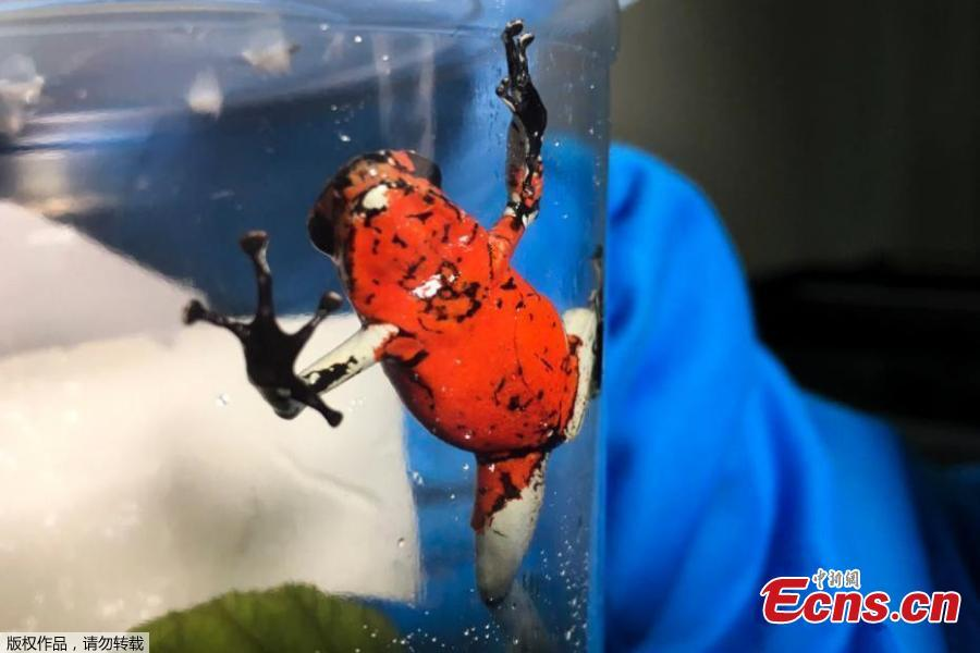 Police in Colombia\'s capital have recovered 216 poisonous frogs from an airport bathroom and authorities say smugglers planned to illegally send them for sale in Germany. Authorities announced Wednesday they\'d found the frogs hidden in small film containers that were buried in a bag filled with clothes. The rescued amphibians include endangered species like the dark orange and black Lehmann\'s poison frog. The creatures can fetch $2,000 each on the illegal wildlife market. They are sought after by collectors and others hoping to obtain their venom. (Photo/ Agencies)