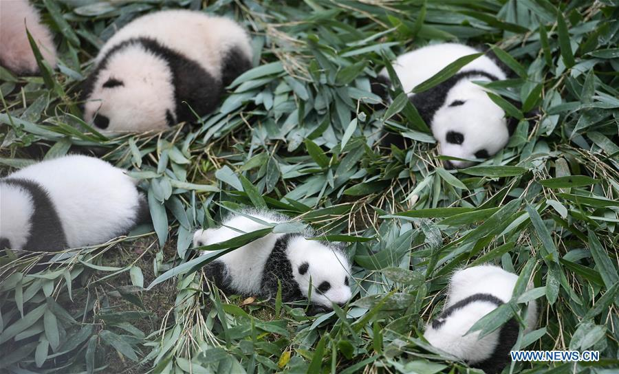 Photo taken on Oct. 13, 2017 shows giant panda cubs at the Bifengxia base of China Conservation and Research Center for Giant Pandas in Ya\'an, southwest China\'s Sichuan Province. The number of captive pandas had reached 548 globally as of November this year, said China\'s National Forestry and Grassland Administration Thursday. A total of 48 pandas were born, and 45 survived this year in China, a survival rate of 93.75 percent, according to data released by the administration at the on-going International Conference for the Giant Panda Conservation and Breeding held in Chengdu. (Xinhua/Xue Yubin)