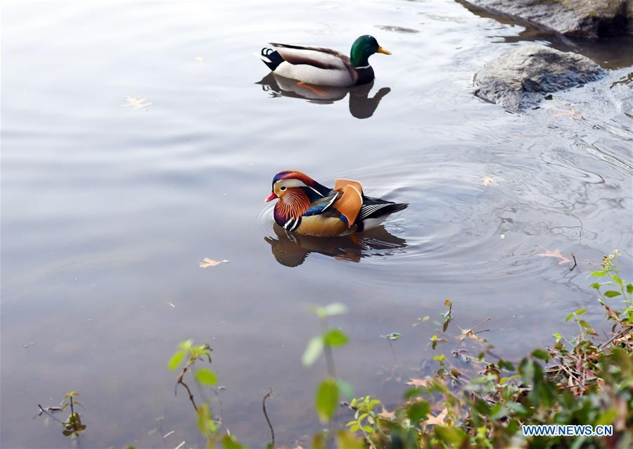 A Mandarin duck (Front) paddles on a pond at the Central Park in New York, the United States, on Nov. 8, 2018. Mandarin ducks are native to East Asia and renowned for their dazzling multicolored feathers. This rare Mandarin duck, first spotted in early October, has become a new star at the Central Park, one of New York City\'s most-visited attractions. (Xinhua/Li Rui)