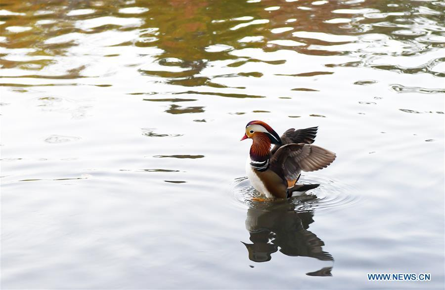 A Mandarin duck paddles on a pond at the Central Park in New York, the United States, on Nov. 8, 2018. Mandarin ducks are native to East Asia and renowned for their dazzling multicolored feathers. This rare Mandarin duck, first spotted in early October, has become a new star at the Central Park, one of New York City\'s most-visited attractions. (Xinhua/Li Rui)
