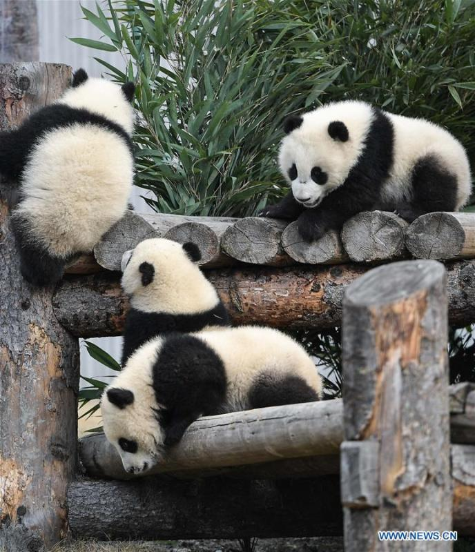 Photo taken on Feb. 15, 2018 shows a giant panda at the Shenshuping base of China Conservation and Research Center for Giant Pandas in Wolong, southwest China\'s Sichuan Province. The number of captive pandas had reached 548 globally as of November this year, said China\'s National Forestry and Grassland Administration Thursday. A total of 48 pandas were born, and 45 survived this year in China, a survival rate of 93.75 percent, according to data released by the administration at the on-going International Conference for the Giant Panda Conservation and Breeding held in Chengdu. (Xinhua/Xue Yubin)