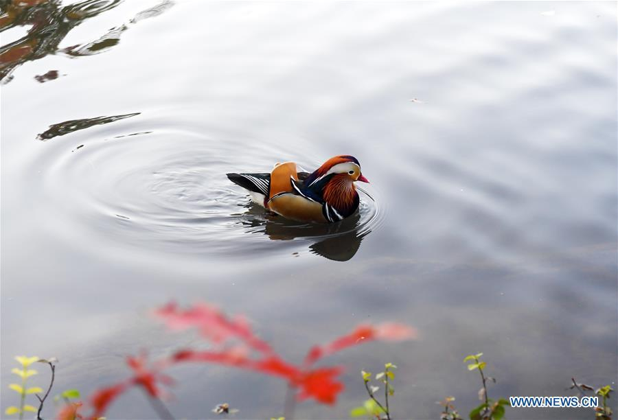 A Mandarin duck swims on a pond at the Central Park in New York, the United States, on Nov. 8, 2018. Mandarin ducks are native to East Asia and renowned for their dazzling multicolored feathers. This rare Mandarin duck, first spotted in early October, has become a new star at the Central Park, one of New York City\'s most-visited attractions. (Xinhua/Li Rui)