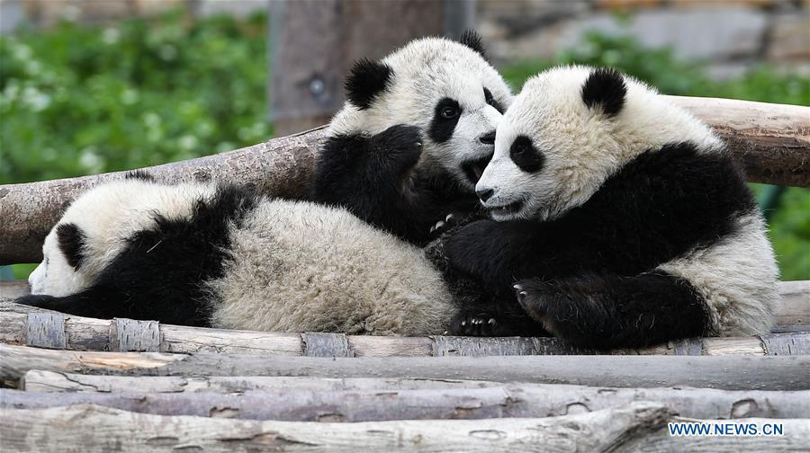 Photo taken on April 25, 2018 shows giant pandas at the Shenshuping base of China Conservation and Research Center for Giant Pandas in Wolong, southwest China\'s Sichuan Province. The number of captive pandas had reached 548 globally as of November this year, said China\'s National Forestry and Grassland Administration Thursday. A total of 48 pandas were born, and 45 survived this year in China, a survival rate of 93.75 percent, according to data released by the administration at the on-going International Conference for the Giant Panda Conservation and Breeding held in Chengdu. (Xinhua/Xue Yubin)