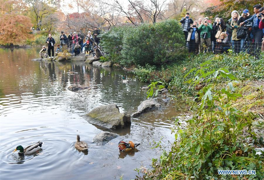 People watch and take photos of a Mandarin duck (R) at the Central Park in New York, the United States, on Nov. 8, 2018. Mandarin ducks are native to East Asia and renowned for their dazzling multicolored feathers. This rare Mandarin duck, first spotted in early October, has become a new star at the Central Park, one of New York City\'s most-visited attractions. (Xinhua/Li Rui)