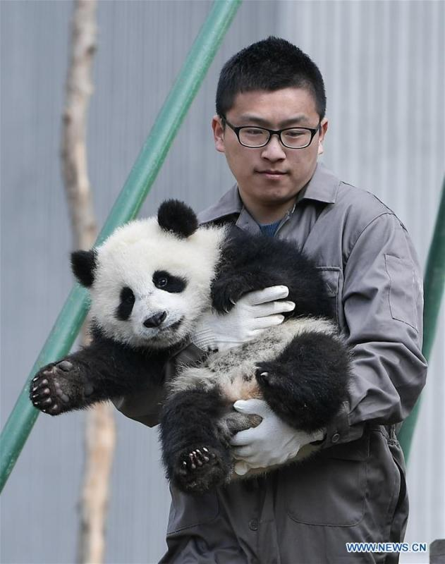A staff takes care of a giant panda at the Shenshuping base of China Conservation and Research Center for Giant Pandas in Wolong, southwest China\'s Sichuan Province, on Feb. 15, 2018. The number of captive pandas had reached 548 globally as of November this year, said China\'s National Forestry and Grassland Administration Thursday. A total of 48 pandas were born, and 45 survived this year in China, a survival rate of 93.75 percent, according to data released by the administration at the on-going International Conference for the Giant Panda Conservation and Breeding held in Chengdu. (Xinhua/Xue Yubin)