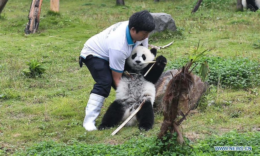 A staff takes care of a giant panda at the Shenshuping base of China Conservation and Research Center for Giant Pandas in Wolong, southwest China\'s Sichuan Province, on Sept. 23, 2017. The number of captive pandas had reached 548 globally as of November this year, said China\'s National Forestry and Grassland Administration Thursday. A total of 48 pandas were born, and 45 survived this year in China, a survival rate of 93.75 percent, according to data released by the administration at the on-going International Conference for the Giant Panda Conservation and Breeding held in Chengdu. (Xinhua/Xue Yubin)