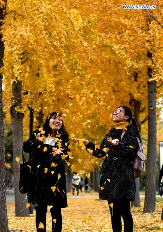 Two women reach for falling ginkgo leaves at Hebei University of Economics and Business in Shijiazhuang, north China\'s Hebei Province, Nov. 9, 2018. (Xinhua/Chen Qibao)