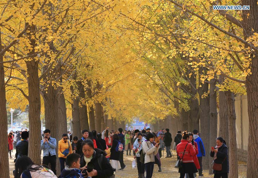 People visit an avenue lined with ginkgo trees near the Diaoyutai State Guesthouse in Beijing, capital of China, Nov. 10, 2018. (Xinhua/Wang Zhongsheng)