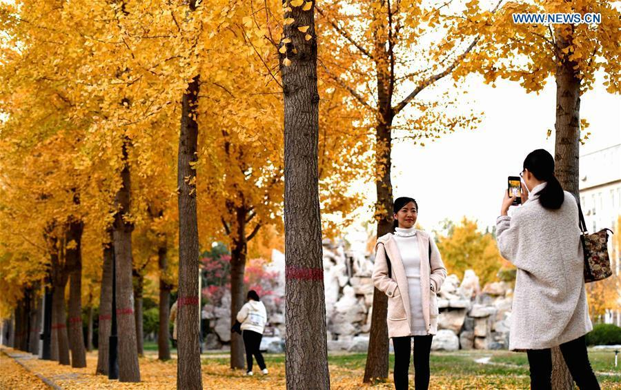 A woman poses for photos with ginkgo trees at Hebei University of Economics and Business in Shijiazhuang, north China\'s Hebei Province, Nov. 9, 2018. (Xinhua/Chen Qibao)