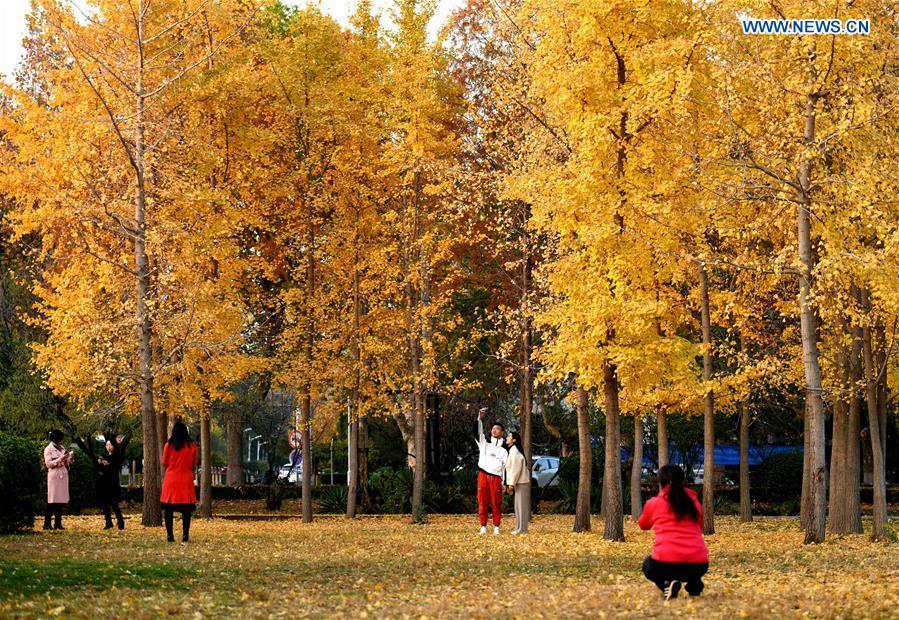 People spend their leisure time under ginkgo trees at Hebei University of Economics and Business in Shijiazhuang, north China\'s Hebei Province, Nov. 9, 2018. (Xinhua/Chen Qibao)
