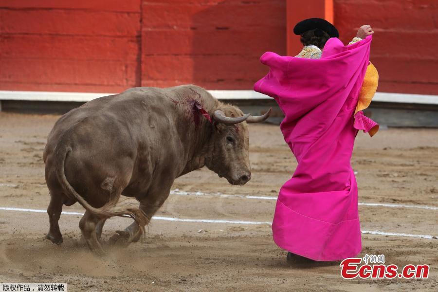 Peruvian bullfighter Alfonso de Lima performs a pass during a bullfight at Peru\'s historic Plaza de Acho bullring in Lima, November 11, 2018. (Photo/Agencies)