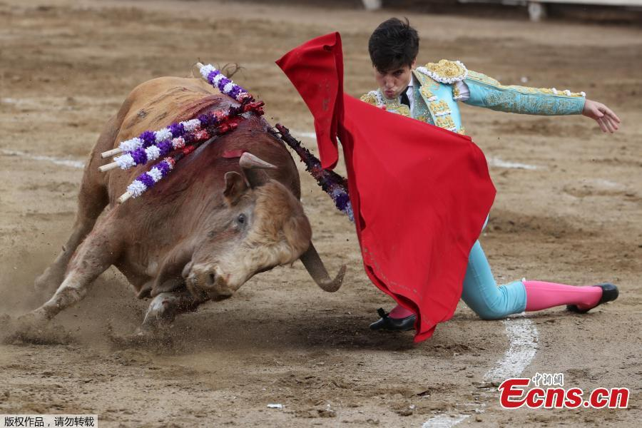 Spanish bullfighter Alvaro Lorenzo performs a pass during a bullfight at Peru\'s historic Plaza de Acho bullring in Lima, November 11, 2018. (Photo/Agencies)