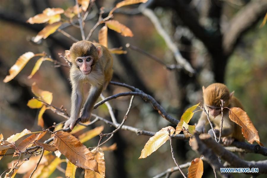 Monkeys play on a tree at Huaguo Mountain Scenic Area in Lianyungang, east China\'s Jiangsu Province, Nov. 10, 2018. (Xinhua/Si Wei)