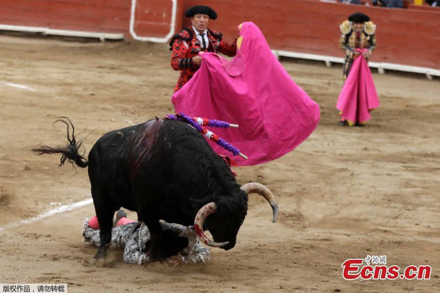 A matador\'s assistant is tackled by a bull during a bullfight at Peru\'s historic Plaza de Acho bullring in Lima, November 11, 2018. (Photo/Agencies)