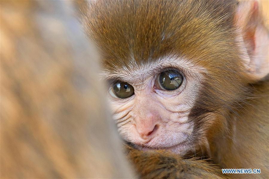 A little monkey nestles in the arms of its mother at Huaguo Mountain Scenic Area in Lianyungang, east China\'s Jiangsu Province, Nov. 10, 2018. (Xinhua/Si Wei)
