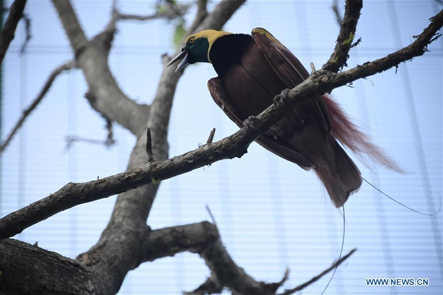 Photo taken on Nov. 11, 2018 shows a bird-of-paradise in Port Moresby, Papua New Guinea. Leaders from the Asia-Pacific economies are gathering in Port Moresby, the capital of Papua New Guinea for the Asia-Pacific Economic Cooperation (APEC) Leaders\' Week on Nov. 12-18. (Xinhua/Lui Siu Wai)