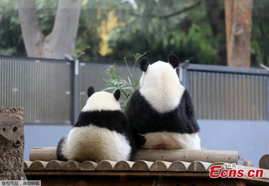 <?php echo strip_tags(addslashes(Female giant panda cub Xiang Xiang (L) sits next to her mother Shin Shin (R) at Ueno Zoo in Tokyo on November 12, 2018. (Photo/Agencies))) ?>
