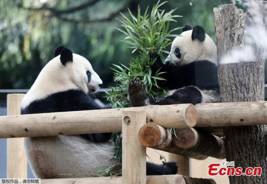 <?php echo strip_tags(addslashes(Female giant panda cub Xiang Xiang (R) and her mother Shin Shin (L) eat bamboo at Ueno Zoo in Tokyo on November 12, 2018.  (Photo/Agencies))) ?>