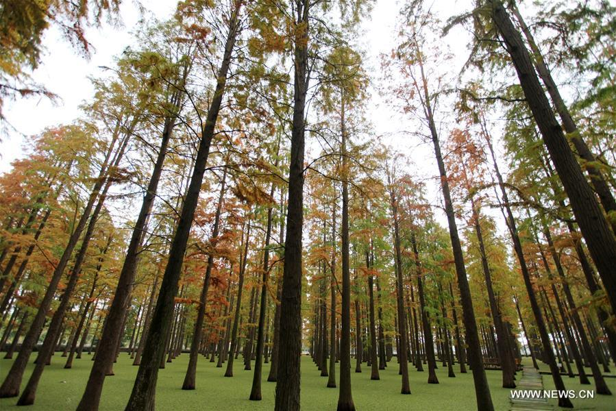 Photo taken on Nov. 12, 2018 shows the scenery of the dawn redwood forest at Luyang Lake Wetland Park in Yangzhou, east China\'s Jiangsu Province. (Xinhua/Meng Delong)