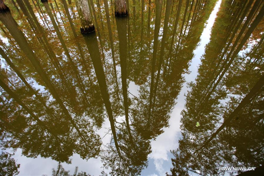 The dawn redwood forest are reflected on the surface of the lake at Luyang Lake Wetland Park in Yangzhou, east China\'s Jiangsu Province, Nov. 12, 2018. (Xinhua/Meng Delong)